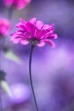 与软的焦点的一朵桃红色百日菊属花在紫色背景 与定调子的美好的艺术性的图象 库存图片