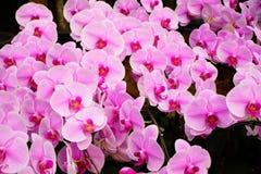 与软的焦点的杂种兰花花绽放 免版税图库摄影
