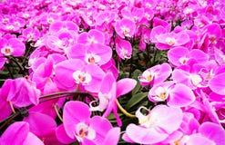 与软的焦点的杂种兰花花绽放 库存图片