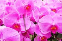 与软的焦点的杂种兰花花绽放 图库摄影