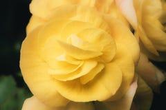 与软的焦点的黄色新鲜的玫瑰色花 图库摄影
