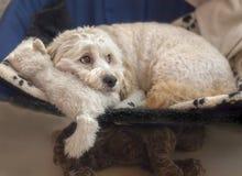 与软的玩具的马尔他和长卷毛狗混合Maltipoo 免版税图库摄影