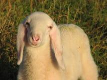与软的白色羊毛的幼小羊羔在山的草坪 免版税库存照片