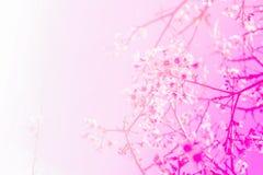 与软绵绵地桃红色的泰国佐仓花 库存图片