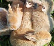 与轻的头发的小的兔子 免版税库存图片
