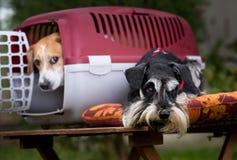 与载体的两条狗 图库摄影