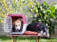 与载体的两条狗 库存图片