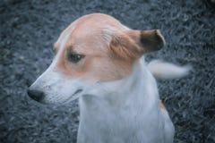 与过滤器作用的逗人喜爱的棕色和白色狗 库存图片