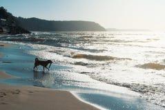 与运行在沙丘的飞碟的一条狗在的海滩 免版税库存图片