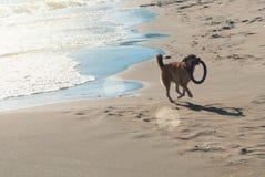 与运行在沙丘的飞碟的一条狗在的海滩 库存图片