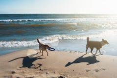 与运行在沙丘的飞碟的两条狗在t的海滩 免版税库存图片