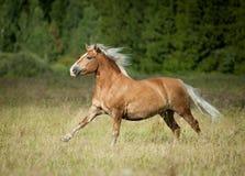 与运行在自由的白肤金发的鬃毛的美丽的栗子马与 库存图片