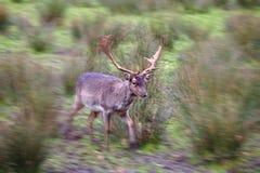 与运行过去与往图象的边缘的行动迷离的充分地增长的鹿角的公小鹿 免版税库存照片