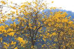 与近开花的黄色花的树在庭院里对山 免版税库存图片