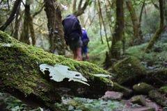 与远足者的生苔岩石在背景中 库存图片