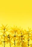 与连翘属植物花的黄色背景 免版税图库摄影