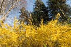与连翘属植物金莲花花的Garten 库存图片