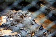 与迷离钢笼子的鳄鱼  库存图片
