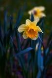 水仙黄水仙与选择聚焦的春天 图库摄影