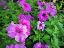 与选择聚焦的特写镜头充满活力的紫色花 免版税库存照片