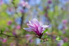 与选择聚焦的美丽和嫩桃红色木兰花 免版税图库摄影