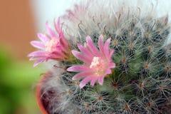 与选择聚焦的美丽的仙人掌花 图库摄影
