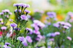 与选择聚焦(景深的玛格丽特紫色花) 免版税图库摄影
