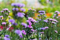 与选择聚焦(景深的玛格丽特紫色花) 免版税库存照片