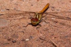 与透明翼的美丽的蜻蜓坐沙子 在野生生物的动物 图库摄影