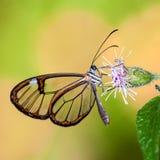 与透明`玻璃`的蝴蝶飞过Greta oto特写镜头坐的和饮用的花蜜 免版税图库摄影