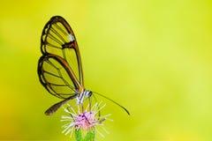与透明`玻璃`的Clearwing蝴蝶飞过从一朵紫色花的Greta oto特写镜头坐的和饮用的花蜜 库存照片