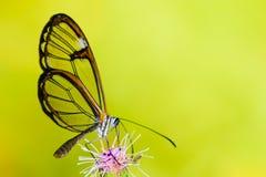 与透明`玻璃`的Clearwing蝴蝶飞过从一朵紫色花的Greta oto特写镜头坐的和饮用的花蜜 免版税库存图片