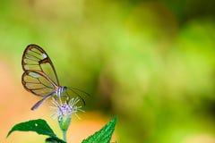 与透明`玻璃`的Clearwing蝴蝶飞过从花的Greta oto特写镜头坐的和饮用的花蜜 库存图片