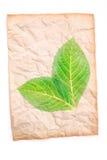 与透明绿色叶子的被弄皱的老纸 免版税库存图片
