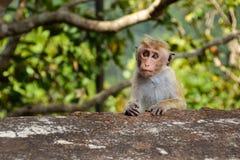 与逗人喜爱和哀伤的眼睛的一只猴子 免版税库存照片