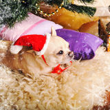 与逗人喜爱的奇瓦瓦狗狗的新年卡片在说谎在毛皮的圣诞老人帽子 免版税库存图片
