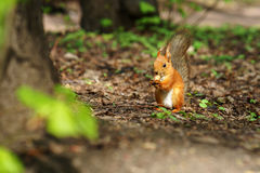 与逗人喜爱的尾巴的一只红色蓬松灰鼠坐地面和咬某一坚果,当拿着它在爪子晴朗的秋天时 库存图片