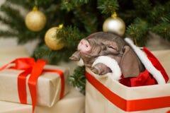 与逗人喜爱的新出生的圣诞老人猪的圣诞节和新年卡片在礼物提出箱子 年中国人日历的装饰标志 冷杉 免版税库存图片