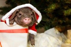 与逗人喜爱的新出生的圣诞老人猪的圣诞节和新年卡片在礼物提出箱子 年中国人日历的装饰标志 冷杉 库存照片