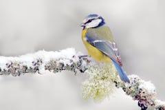 与逗人喜爱的歌手的雪冬天 鸟蓝冠山雀在森林,雪花和好的地衣分支 与动物的第一雪 适合的降雪是 免版税库存照片