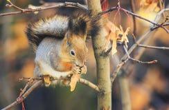 与逗人喜爱的毛皮美丽的动物红松鼠的背景在autum 库存照片