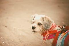 与逗人喜爱的白色短发Shih tzu狗在海滩穿衣 库存图片