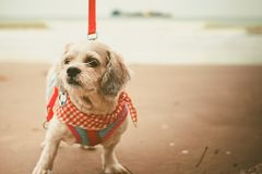 与逗人喜爱的白色短发Shih tzu狗穿衣和在海滩的红色皮带 免版税库存图片