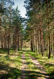 与道路的美好的风景穿过杉木森林 免版税库存图片