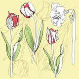 与郁金香和孤挺花的背景 免版税图库摄影