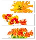 与郁金香和百日菊属花的水平的横幅 库存照片