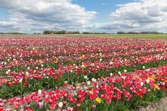 与郁金香展示庭院的荷兰风景 免版税库存图片