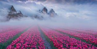 与郁金香的意想不到的春天风景调遣耕种的outdoo 库存照片