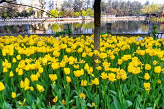 与郁金香的春天风景 免版税图库摄影