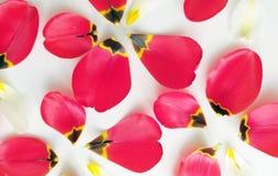 与郁金香的瓣的花背景 免版税图库摄影